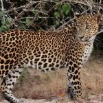 406012_leopard_profil_morda_vzglyad_pyatna_xishhnik_trava_1680x1050_(www.GdeFon.ru)